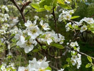 Freyja's springtime – Freyas Frühling